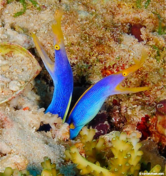 The Ribbon Eel, a variety of moray eel, is extremely rare even in Fiji.