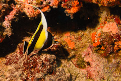 The South Pacific's most colorful reef fish live in Fiji's coral reefs.