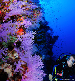 Fiji's Rainbow Reef Purple Wall.
